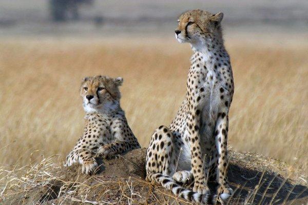全球范围内仅剩下7100只猎豹